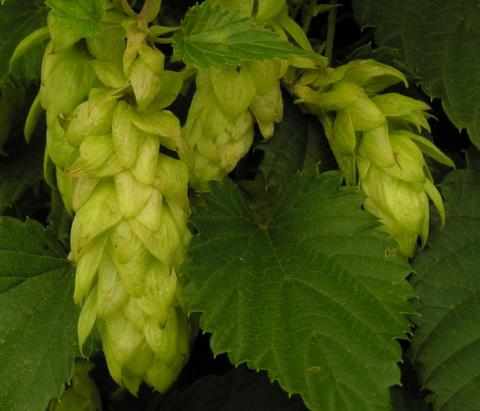 Organic beer soon to have organic hops